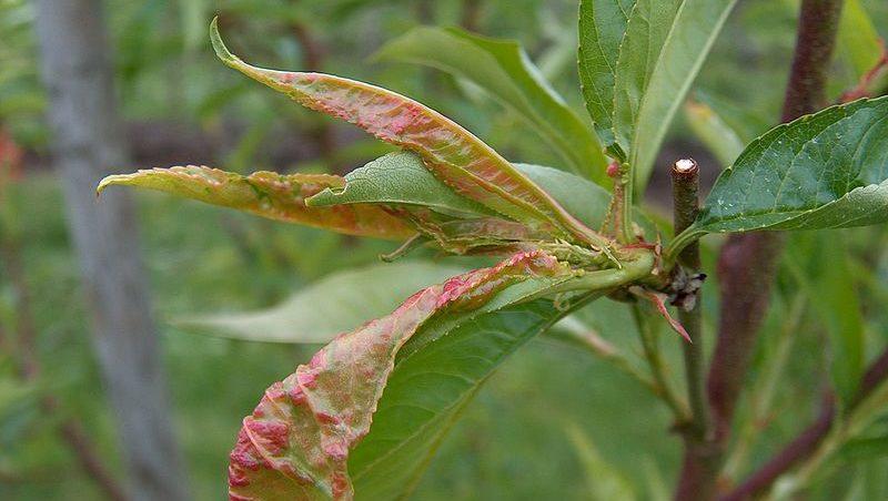 Kräuselkrankheit an Pfirsich, Aprikosen und Nektarinen 1
